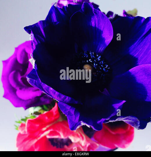 Close-up of purple and pink anemone flowers - Stock Image