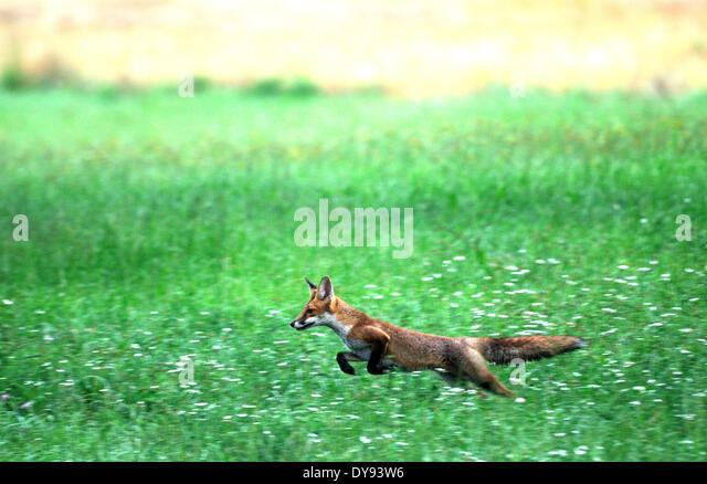 Red fox fox predator canids crafty European fox Vulpes vulpes foxes young grain-field cornfield jumping animal animals - Stock Image