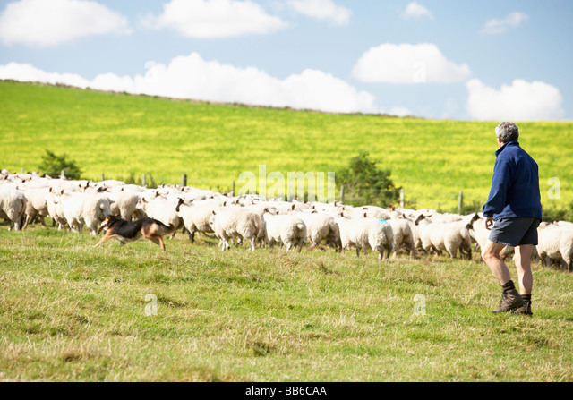 Two Farm Workers With Flock Of Sheep - Stock Image