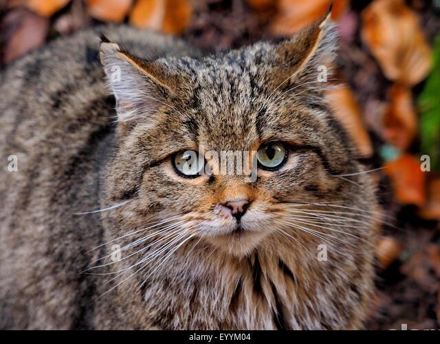 European wildcat, forest wildcat (Felis silvestris silvestris), portrait of a forest wildcat, Germany, Bavaria, - Stock-Bilder
