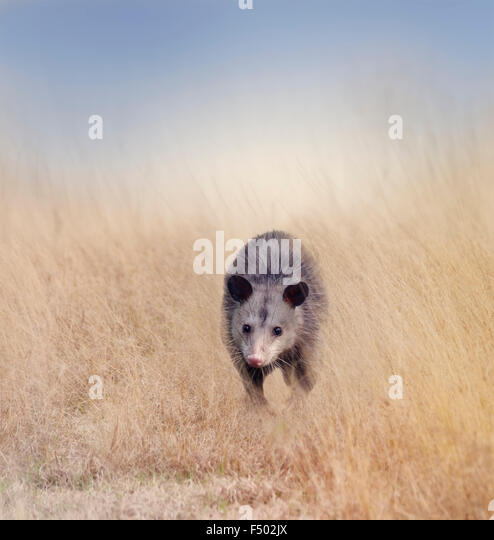 Opossum Walking in Tall Grass - Stock Image