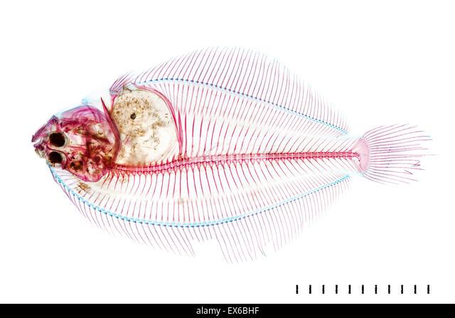 Juvenile Pleuronectid flatfish - Stock Image