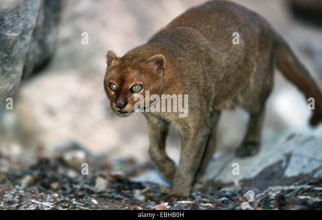 jaguarundi (Felis yagouaroundi tolteca). - Stock Image