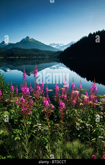 Scenic view of Auke Lake on a clear day with Fireweed in the foreground, near Juneau, Southeast Alaska, Summer - Stock Image