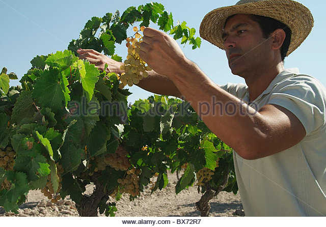 Worker harvesting grapes - Stock Image