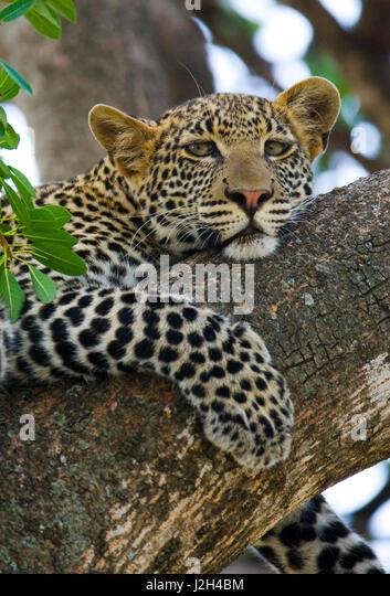 Leopard is lying on a tree. National Park. Kenya. Tanzania. Maasai Mara. Serengeti. An excellent illustration. - Stock Image