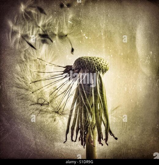 Dying dandelion sheds its final seeds - Stock-Bilder