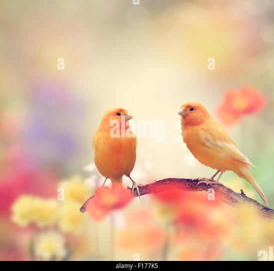 Yellow Birds Perching In The Garden - Stock Image