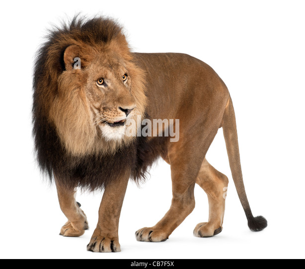 Lion, 8 years old, Panthera leo in front of a white background - Stock Image