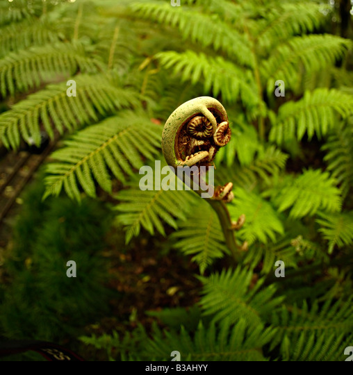 Fern New Zealand New frond unfurling in August southern hemisphere spring - Stock Image