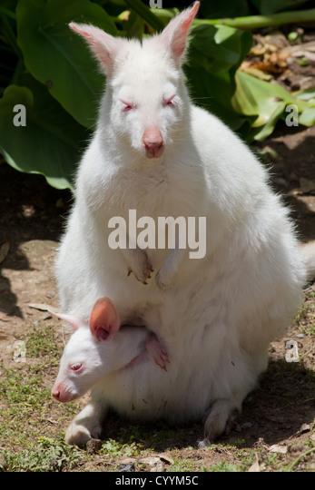 Albino Kangaroo - Stock Image