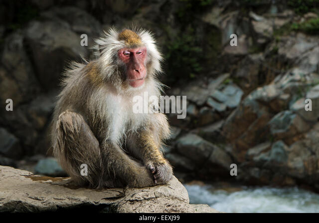 Japanese Macaque - Stock Image