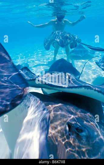 Stingray City Grand Cayman Blur Action underwater top toiurist attraction - Stock Image