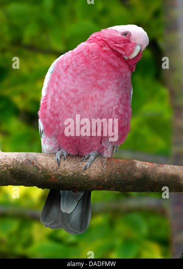 galah (Eolophus roseicapillus, Cacatua roseicapillus), sitting on a branch canting the head, Australia - Stock Image