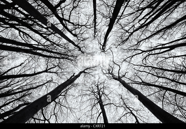 Beech (Fagus) from below in black and white, Mindelheim, Unterallgaeu, Swabia, Bavaria, Germany, Europe - Stock Image