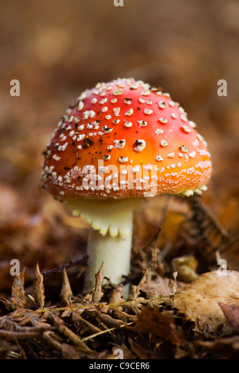 A single red with white spots Fly Agaric Fungi -  Amanita muscaria - Stock Image