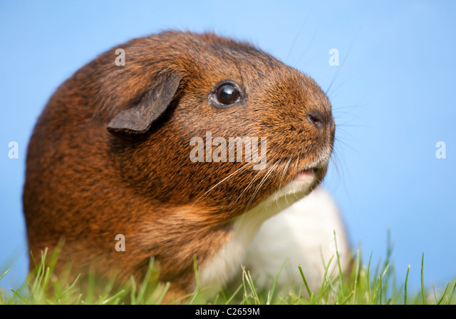 Guinea pig sniffing the air - Stock Image