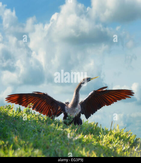 Digital Painting Of American Anhinga - Stock-Bilder