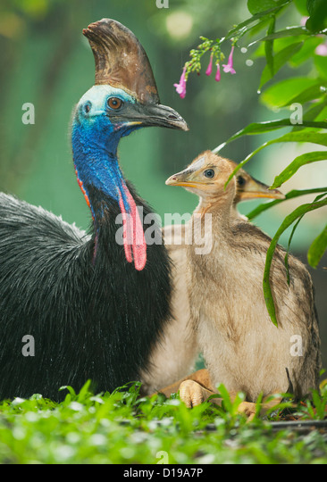 Southern or Double-Wattled Cassowary (Casuarius casuarius), Atherton Tablelands, Queensland, Australia WILD - Male - Stock-Bilder