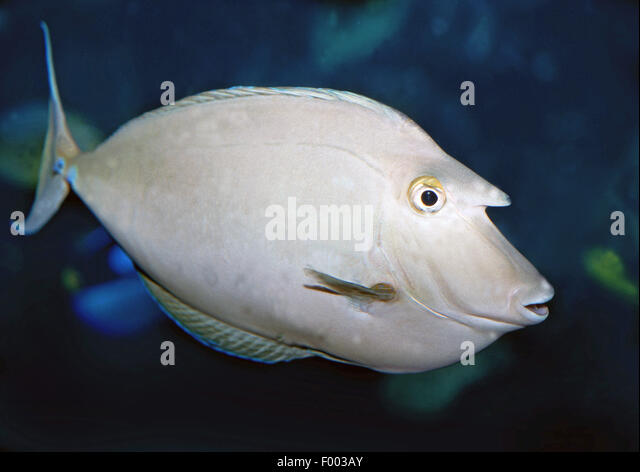 whitemargin unicornfish (Naso annulatus), swimming - Stock Image
