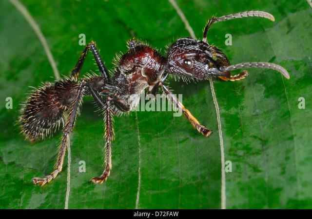 Enormous Bullet Ant (Paraponera clavata) in Costa Rica rainforest - Stock Image