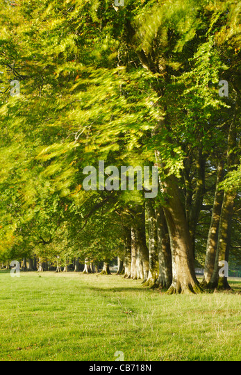 Row of Trees. Cricket St Thomas. Somerset. England. UK. - Stock Image