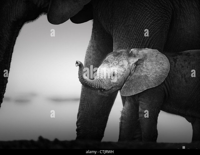 Baby Elephant next to Cow (Artistic processing) Addo National Park - South Africa - Stock Image