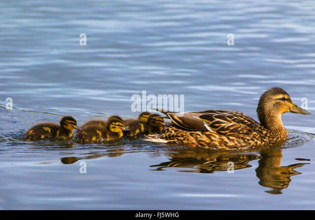 mallard (Anas platyrhynchos), swimming female with chicks, Norway, Troms - Stock Image