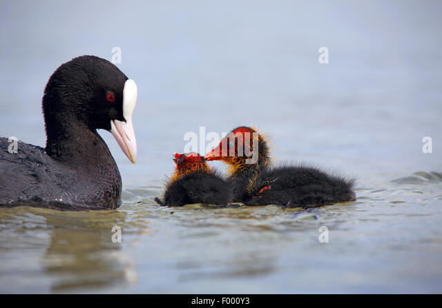 black coot (Fulica atra), adult bird with two chicks on the water, Germany - Stock Image