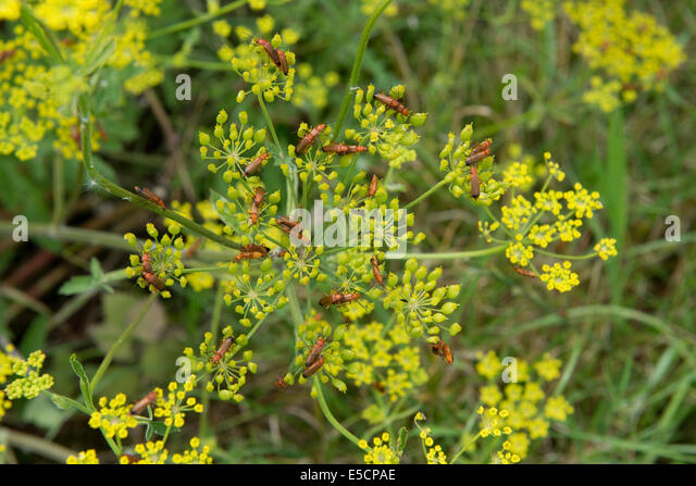 Common red soldier beetles or blood sucking beetles, Rhagonycha fulva, massing on the yellow flower of a wild parsnip - Stock Image