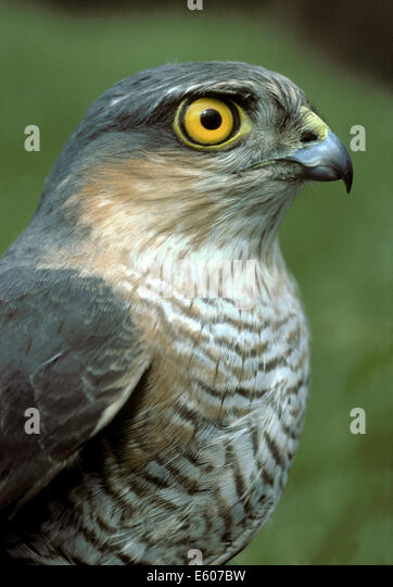 Sparrowhawk Accipiter nisus - Stock Image