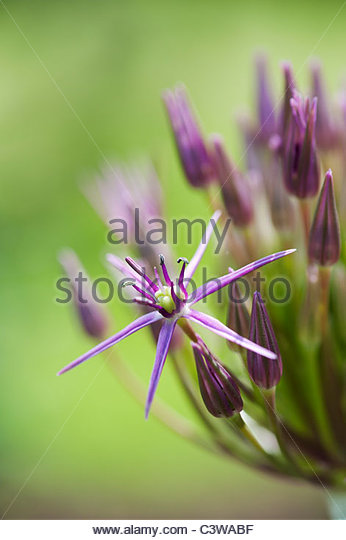 Allium Christophii flower opening from the bud. Star of Persia - Stock Image
