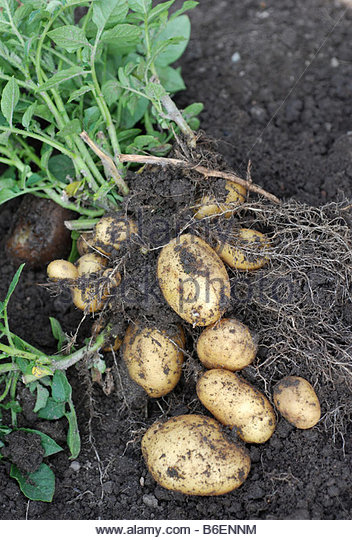 Recently picked potatoes - Stock Image