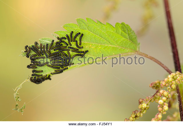 map butterfly (Araschnia levana), caterpillars on nettle leaf, Germany - Stock Image