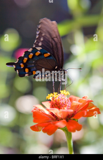 blue, black and orange butterfly with black and white spotted body resting on a zinnia flower, drinking nectar - Stock-Bilder
