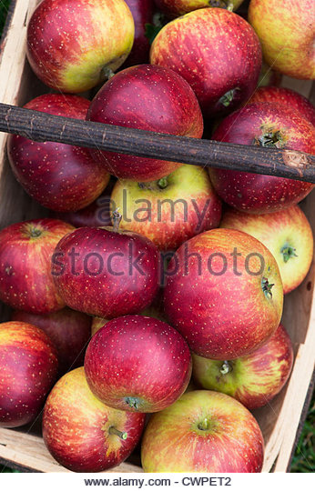 Malus domestica. Apples 'Nuvar Freckles' in a wooden trug - Stock-Bilder