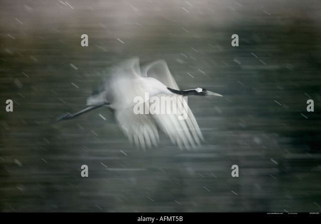 Japanese crane in flight Hokkaido Island Japan - Stock Image