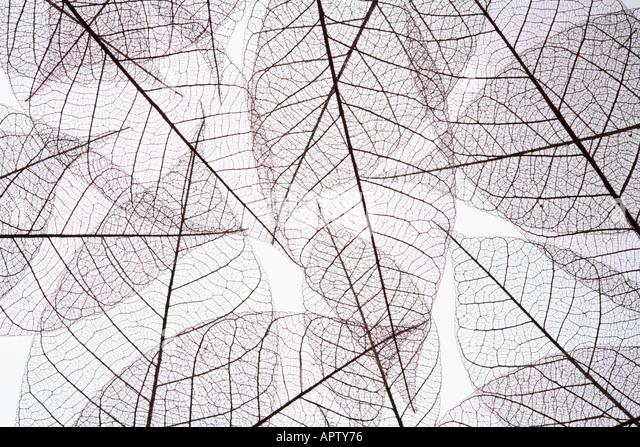 Leaf Skeleton Pattern - Stock Image