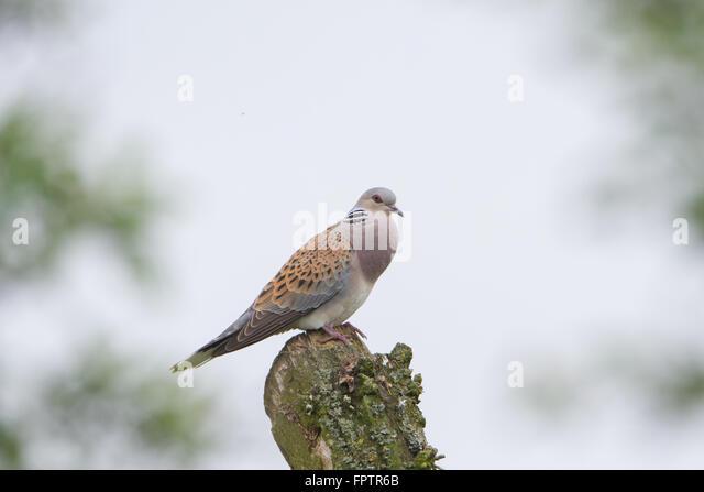 Turtle dove (Streptopelia turtur) at RSPB Otmoor in Oxfordshire, England, UK. - Stock Image