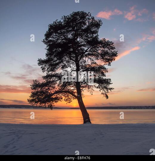 Winter tree in Sweden - Stock Image