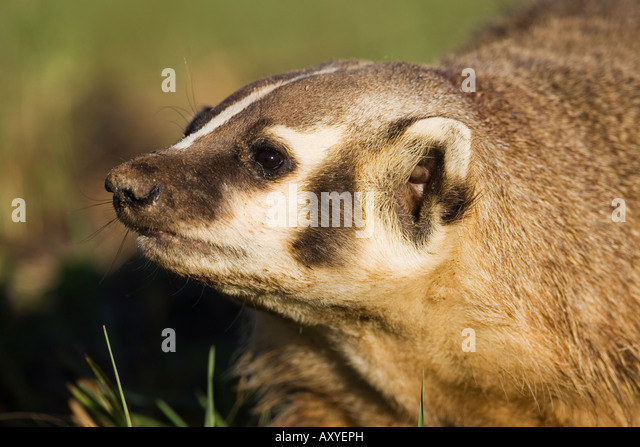 Badger (Taxidea taxus), in captivity, Minnesota Wildlife Connection, Sandstone, Minnesota, USA, North America - Stock Image