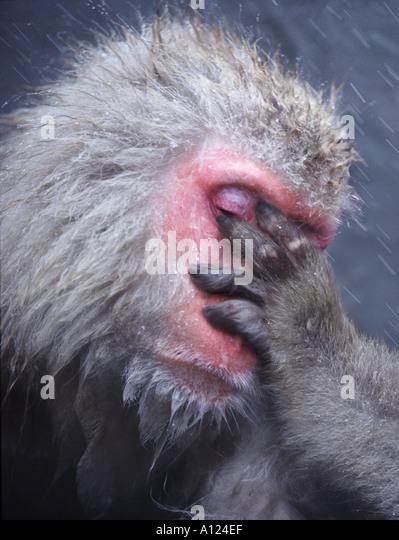 Snow monkey Jigokudani National Park Japan - Stock-Bilder