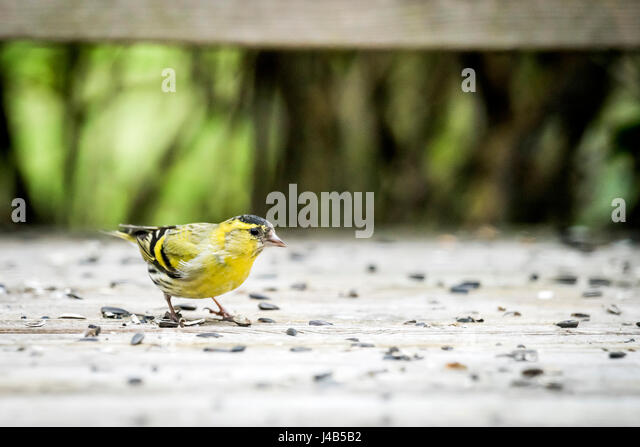 Siskin bird in yellow colors eating bird seeds from a wooden surface in the spring - Stock Image