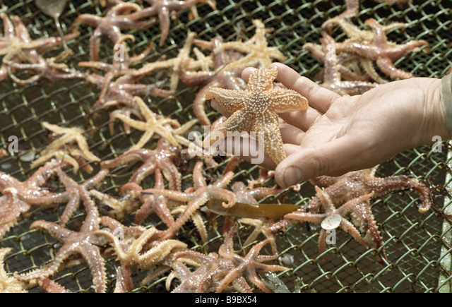 Starfish victims of the eco catastrophe in the White Sea - Stock Image
