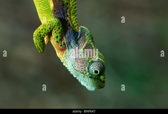 Close up view of a Southern Dwarf Chameleon (Bradypodian ventrale),Tsitsikamma National Park Eastern Cape Province - Stock Image