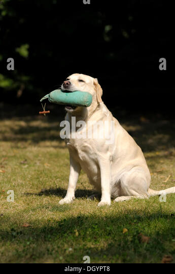 Blonde Labrador-Retriever with a dummy in its mouth - Stock Image