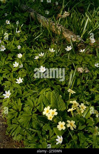 Primroses and wood anemone in Cambridgeshire wood - Stock Image