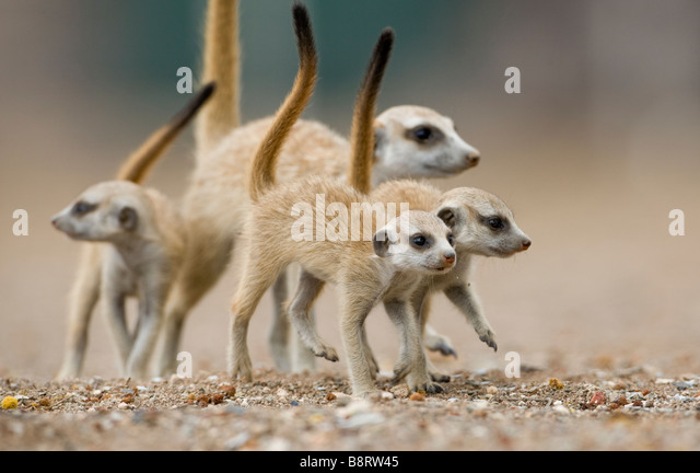 Africa Namibia Keetmanshoop Meerkat pups Suricata suricatta walking with adult outside burrow in Namib Desert - Stock-Bilder