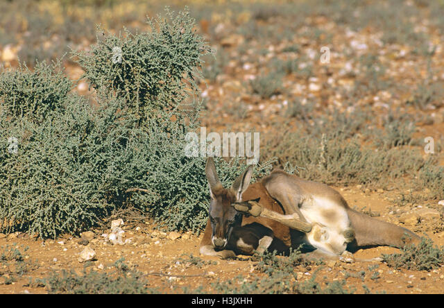 Red kangaroo (Macropus rufus) - Stock Image