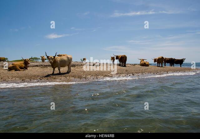 Scottish Highland Cattle Looking Stock Photos & Scottish ...
